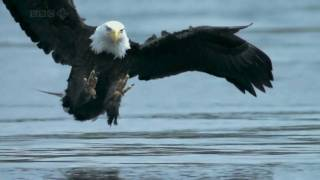 Download Bald Headed Eagle catches salmon Video