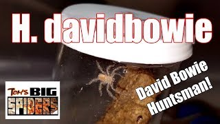 Download Heteropoda davidbowie ″David Bowie Huntsman″ Housing Video