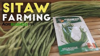 Download Sitaw Planting: How to Plant String Beans from Seeds to Harvest Video
