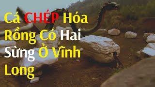 Download Phát hiện cá chép hóa rồng có 2 sừng ở Vĩnh Long Video