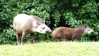 Download Gaiazoo - Braziliaanse tapir 2010 Video