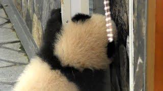 Download 【おか~しゃ~んッ💖】彩浜🐼ママのお部屋に行きたいの🎶🌈✨【赤ちゃんパンダ】Giant Panda Baby -Saihin-☆ Video