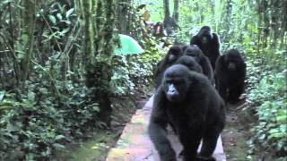 Download Touched by a Wild Mountain Gorilla (HD Version) Video