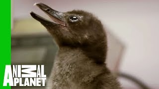 Download Baby Penguins at Mealtime Video