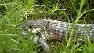 Download Frog rescues another frog from snake Video