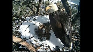 Download Big Bear Eagle Cam ~ Mr. BB Brings A Fish For The Mrs. 1.10.18 Video