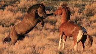 Download South Steens stallion ″Valor″ in battle for mares. Video