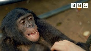 Download Making a chimp laugh | Animals in Love - BBC Video