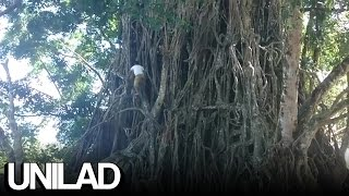Download Real-Life Spiderman Climbs Huge Tree Video