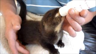 Download Ollie the Otter's first feed of special milk and fish!! Video