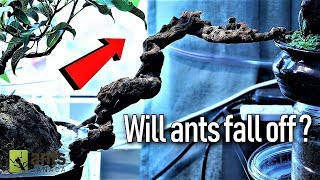 Download Ants Crossing a Suspended Ant Bridge Video