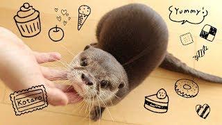 Download カワウソ コタロー 3時のおやつはジャーキー!じっくり遊んでから食べる Kotaro the Otter Loves JERKY treats Video