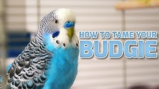 Download How to Tame Your Budgies | Parakeets Video