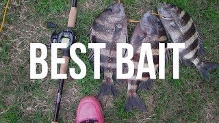 Download How to Catch Sheepshead   Best Bait To use Video