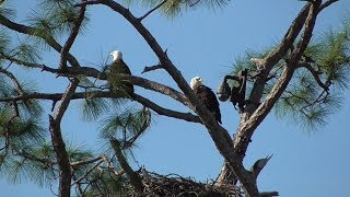 Download SWFL Eagles E14 2 Weeks Old Today! Seen Behind Rails! In Charge As H&M Fly About 01-02-20 Video