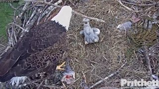 Download SWFL Eagles ~ Watch Out for that Stick; Closeup of E9's Feathers 1.10.17 Video