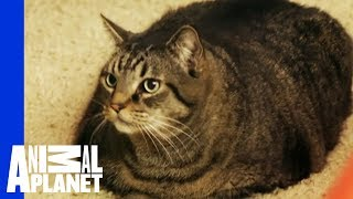 Download Beau Nugget The Cat Starts His Difficult Weight Loss Journey | My Big Fat Pet Makeover Video