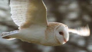 Download Slow-Mo Barn Owl in Flight - Unexpected Wilderness - BBC Video
