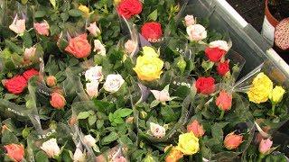 Download Как сохранить розу, купленную в горшке. Комнатные розы. Video
