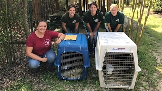 Download Rescuing 2 Bobcats From An Alabama Zoo - Part 2 Video