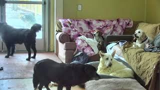 Download Senior Dog Gathering Room Cam 01-18-2018 05:46:56 - 06:46:57 Video