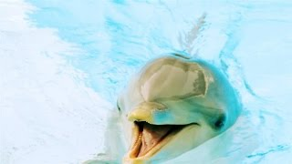 Download Is This Dolphin Speaking English? Video