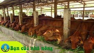 Download Phương pháp xây dựng mô hình nuôi bò bán công nghiệp ở nông thôn Video