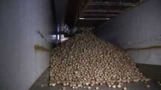 Download Loading potatoes into a semi-trailer Video