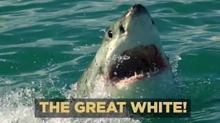 Download Michael Phelps vs Great White Shark - Behind the Scenes Video