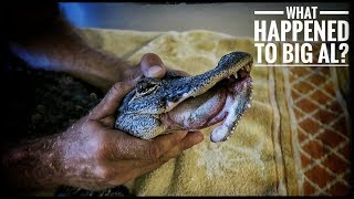 Download Something TERRIBLE happened to this Alligator! Video