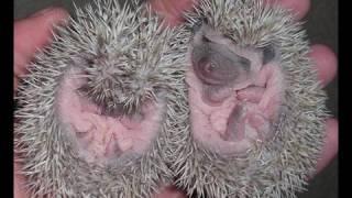 Download Pet Show - How to handle hedgehog babies! Video