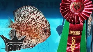 Download DISCUS GRAND CHAMPION!! Video