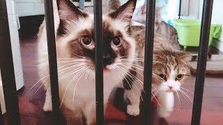 Download 离家几天的铲屎官终于回来了,猫咪们争先恐后卖萌求宠,论撒娇还是布偶猫最嗲! Video