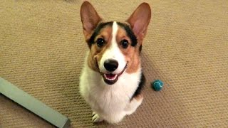 Download CORGI DOG SMILE (RETURNING FROM MY TRIP) - Life After College: Ep. 391 Video