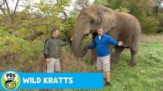 Download WILD KRATTS | Nosing Around | PBS KIDS Video