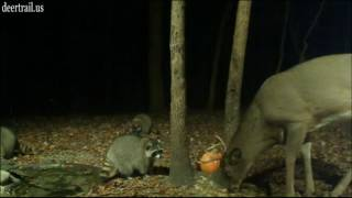 Download More of Them Bucks & Raccoons (11- 4 -16) Video