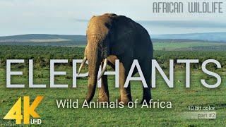 Download 4K African Wildlife: Elephants. Part #2 - Wild Animals Video from Africa - 10 bit color Video