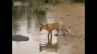 Download лиса охотится на сома Video