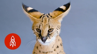Download This ″Giraffe Cat″ Faces an Uncertain Future Video