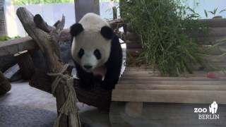 Download Gemütliche Pandas Video