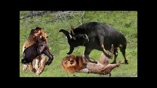 Download Lion vs Buffalo - Top moments Buffalo fight back the KING LION to save baby | ND Channel Video