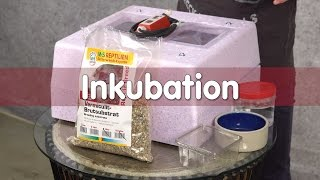 Download Reptil TV - Technik - Inkubation von Reptilien Eier Video