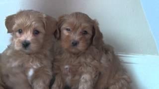 Download Pixie's Havapoo Puppies Video