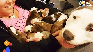 Download Pit Bull Dog Mom Brings Puppies To Foster Mom PUPPY ADOPTION UPDATE   The Dodo Video