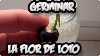 Download Como Sembrar O Germinar La Flor De Loto || La Huertina De Toni Video