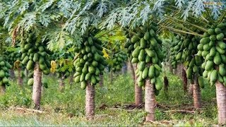 Download WOW! Amazing Agriculture Technology - Papaya Video