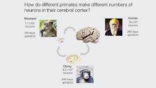 Download Understanding Primate Brain Development Using Stem Cell Systems Video