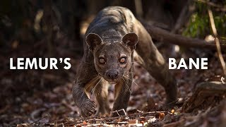 Download Fossa: the King of Madagascar Video