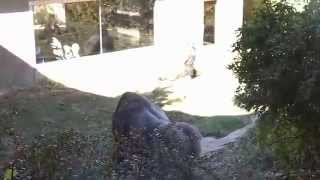 Download Vicious Gorilla Fight at Omaha Zoo... Boys Will Be Boys Pt 2 Video