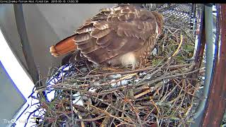 Download Big Red Lays First Egg Of 2018 On Red-tailed Hawk Cam!!! – (Fixed cam view) – Mar 16, 2018 Video
